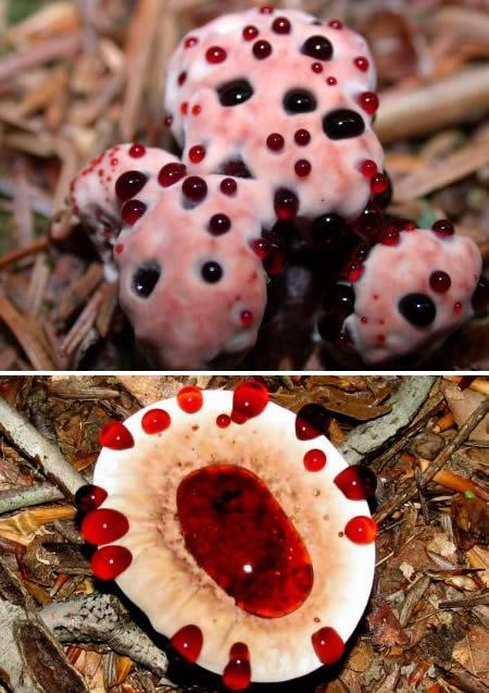 The Bleeding Tooth fungus (Hydnellum pecki). The juice it secretes contains a pigment called atromentin which has been discovered as having anticoagulant properties similar to heparin. Scientists have also discovered the fungus contains antibiotic properties, effective against streptococcus pneumoniae. The mushroom can also be dried and transformed into a plant based dye for cloth, producing an earthy beige color.