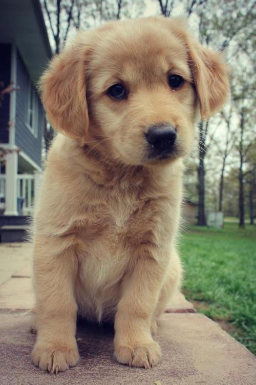 The Versatile Golden Retriever Project Story Cute Puppies