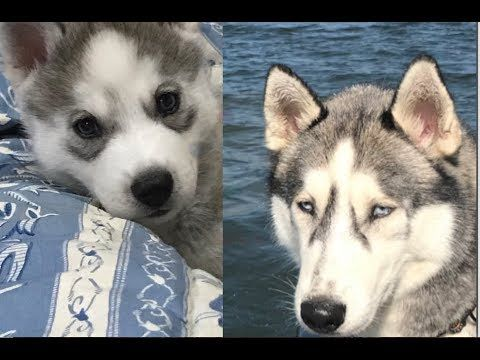 Husky Then And Now Eye Colour Husky Siberian Husky Eye Color