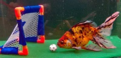 """""""Apparently, there are actual schools that can teach your fish to do many different tricks, including playing soccer, football, and other athletic events."""" -- Click through to see a video of """"Synchronized Japanese Goldfish"""""""