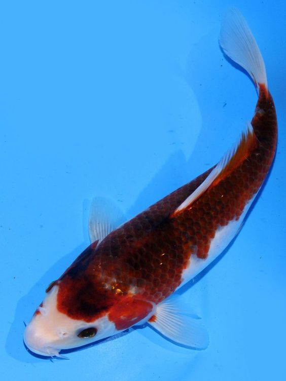 Live koi fish 9 10 goromo koibay koi fish pinterest for Koi fish aquarium