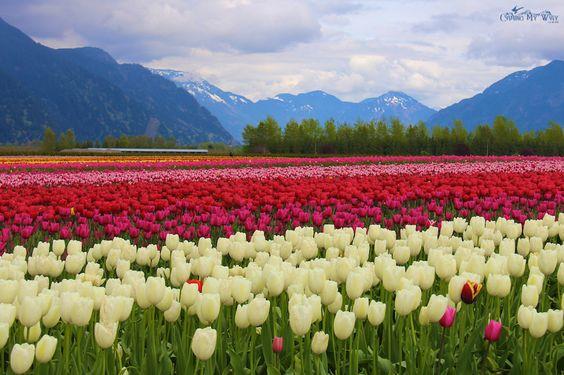 Sắc màu hoa Tulip rực rỡ tại lễ hội ở Shinan
