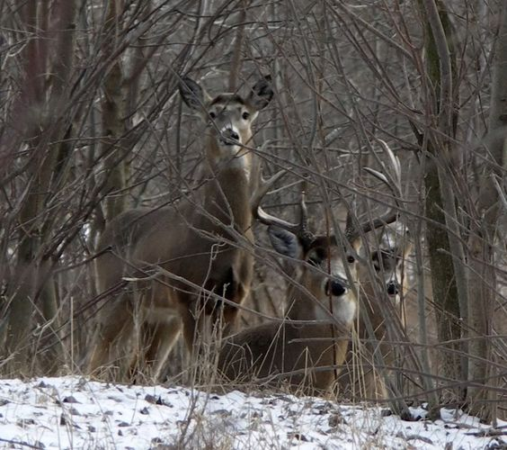 Big Whitetail Bucks in March - Cabelas Talk Forums