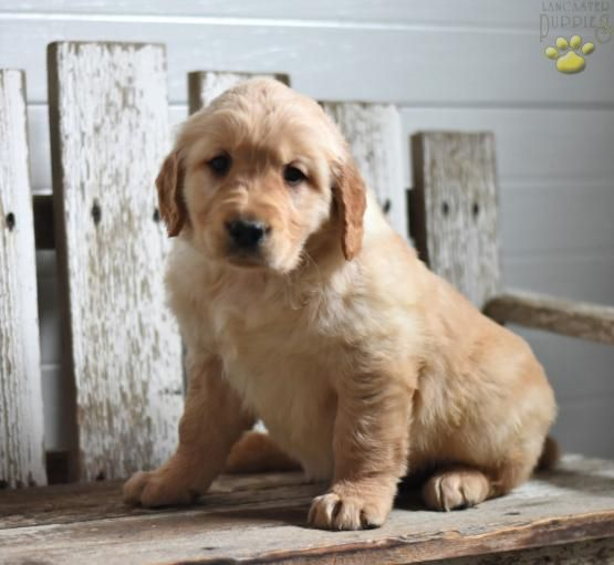 Retriever Goldenretriever Goldenretrieverpuppy