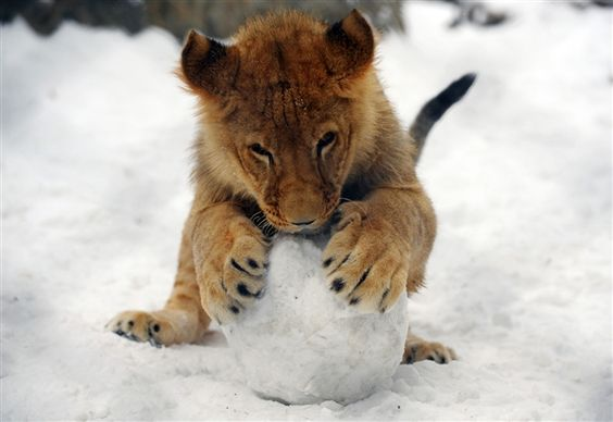 Lion club has a ball in the snow! (Image credit: Alexa Stankovic/AFP)