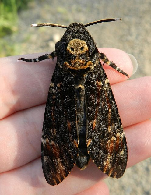 """Spooky but harmless, the Death's Head Hawkmoth (Acherontia atropos) played an important role in """"The Silence of the Lambs"""". Photo by Merintia via Flickr."""