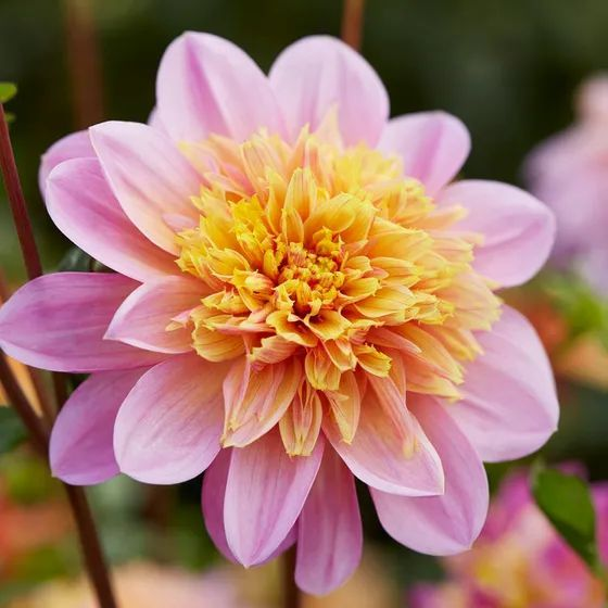 Lifestyle Anemone Dahlia In 2020 Bulb Flowers Types Of Flowers Dahlia