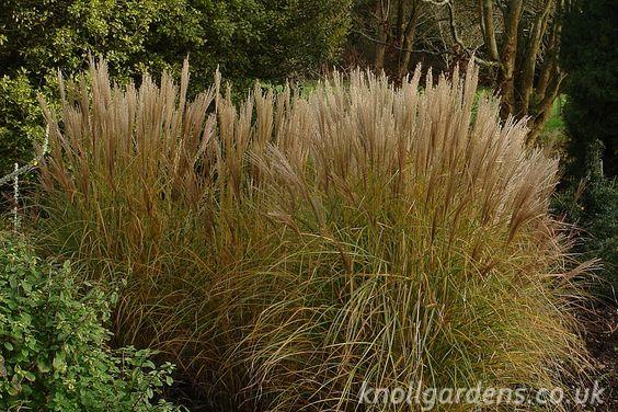 Perennial ornamental grasses ornamental grasses type for Names of ornamental grasses