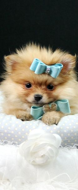 Pomeranian puppy, Puppy names and Pomeranians on Pinterest