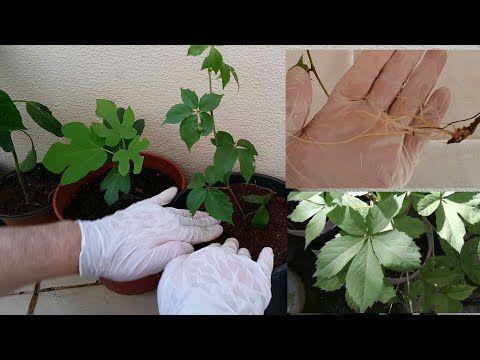 إكثار وتجذير نبات الخميسة المتسلقة Youtube Plants
