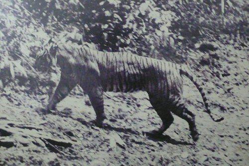 The Javan Tiger - extinct as of the 1980s