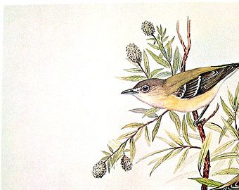 Rex Brasher Print - Large Vintage 1962 Bird Print - Bell's Vireo with Yew-Leaf Willow, Bell's Vireo with Emory Oak