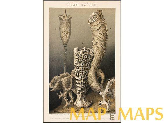 Glass Sponges Old Antique Print Brockhaus Encyclopedia 1882 | eBay
