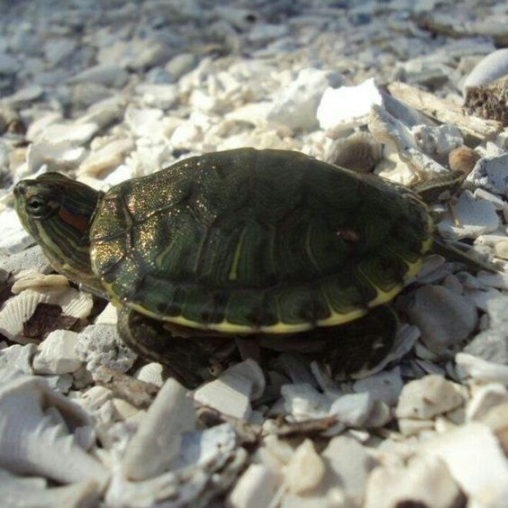 My awesome turtle