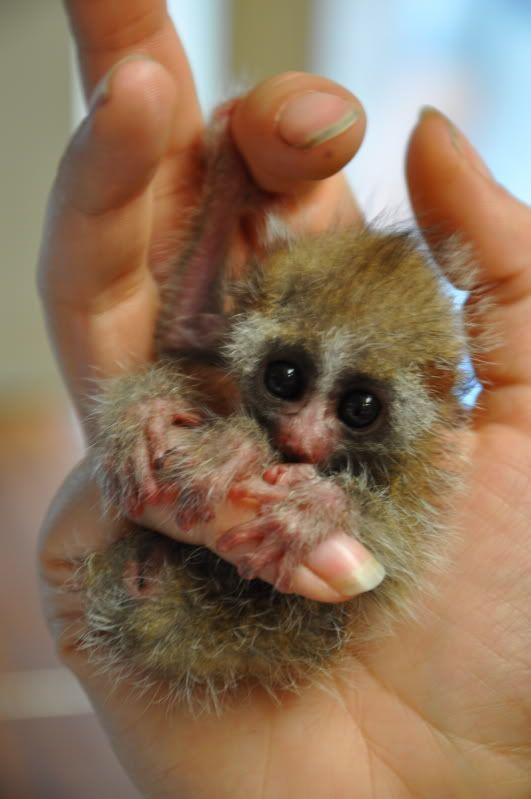 Baby Slow Loris. - my dear lord, I desperately need one of these in my life.
