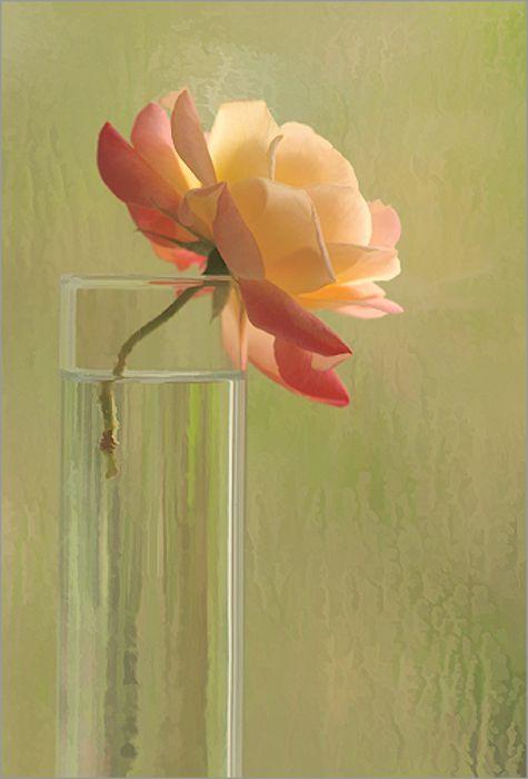 Baham Farzad, Birmingham, Al -- photography: Rose Flowers, Macro Roses, Beautiful Roses, Lavender Roses, Orange Roses, Colors Rose, Single Flower, Beautiful Flowers, Coral Roses