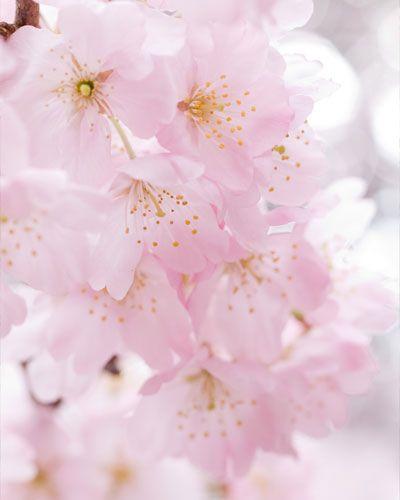 Gambar Bunga Sakura Pink Lembut Flower Sakura Cherry Blossom Pinterest Pink