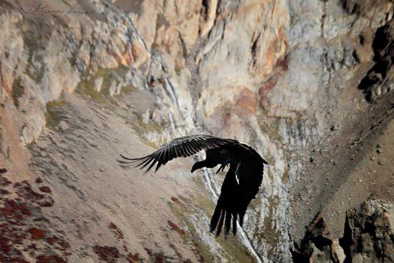 Condor des Andes . Suite de l'envol .
