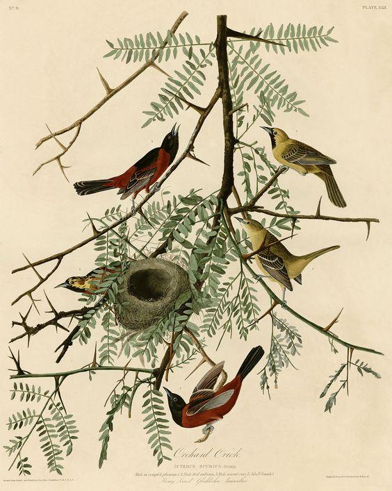 one more Orchard Oriole, audubon print
