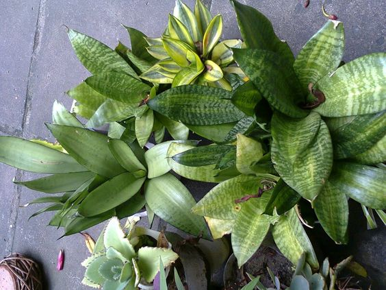 Sara said plantas e cactos - bromélia mirim