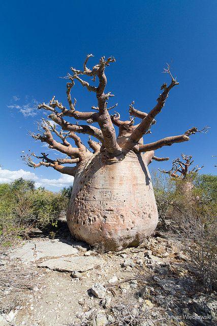 Baobabs. Madagascar -