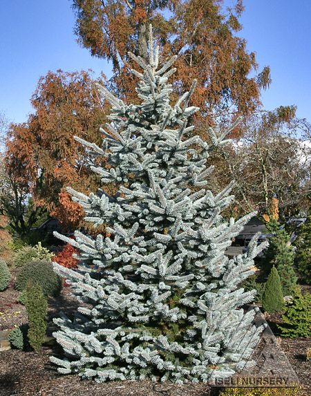 Picea Pungens Hoopsii Is A Stately Tree With Perhaps The Brightest Powder Blue Color