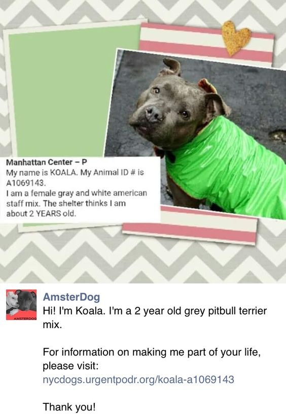 SAFE❤️❤️ 4/10/16 BY HAPPY VALLEY ANIMALS IN NEED❤️ THANK YOU❤️ Manhattan Center – P My name is KOALA. My Animal ID # is A1069143. I am a female gray and white american staff mix. The shelter thinks I am about 2 YEARS old. I came in the shelter as a STRAY on 04/02/2016 from NY 10460, owner surrender reason stated was STRAY. http://nycdogs.urgentpodr.org/koala-a1069143/