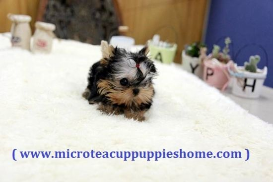 63 Teacup Shih Tzu For Sale Near Me In 2020 Teacup Shih Tzu Shih Tzu Shih Tzu Dog