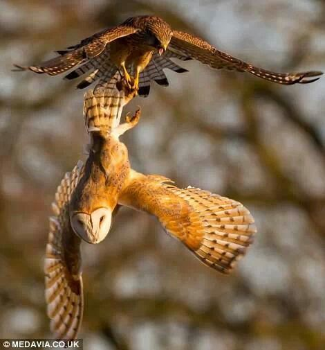 Amazing! Barn Owl vs. Kestrel, see the full story with more photos here --> http://txf.me/6T More about owl hunting techniques here --> http://owlpag.es/1D More about Barn Owls here --> http://owlpag.es/G
