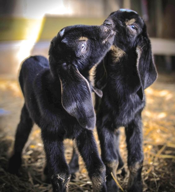 ABOUT MINI NUBIANS Mini Nubians are a perfect blend of the larger Nubian dairy goat, known for high milk production and the much smaller Nigerian Dwarf that produces milk with high butterfat...: