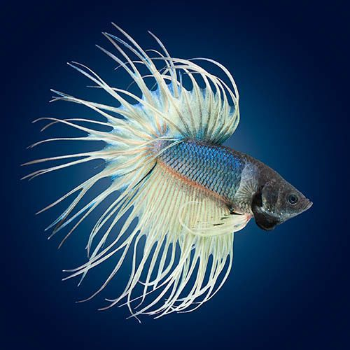 Steel and white crowntail | Fancy bettas | Pinterest ...