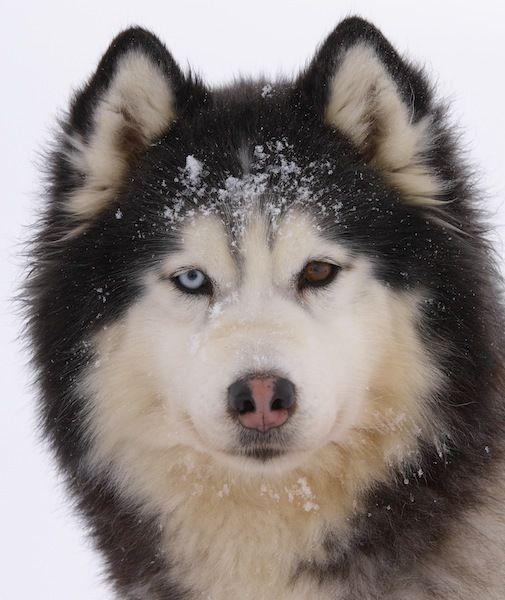 Siberian Husky: