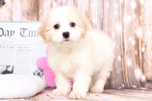 Cavachon Puppy For Sale In Bel Air Md Adn 71374 On Puppyfinder Com Gender Female Age 8 Weeks Old Cavachon Puppies Puppies For Sale Cavachon