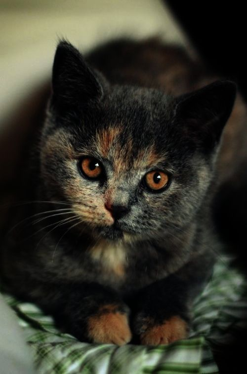 Awesome Beautiful Cats For Sale In Pakistan Cute Cats
