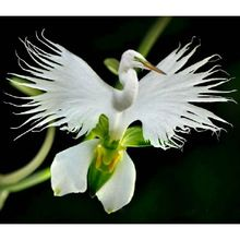 Japanese Radiata Seeds White Egret Orchid Seeds World's Rare Orchid Species White Flowers Orchidee Garden & Home Planting(China (Mainland))
