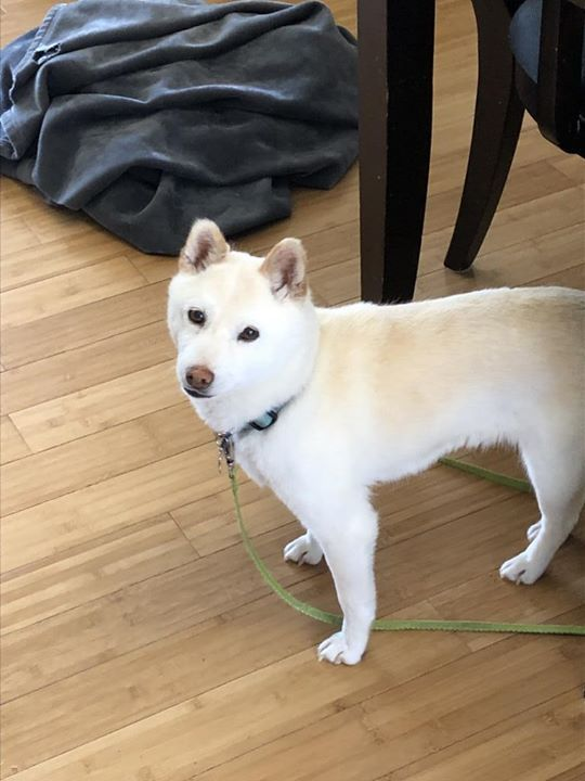 Lost Dog Burnsville Shiba Inu Female Date Lost 04 26 2019 Dog S Name Fuji Fu Gee Breed Of Dog Shiba Inu Gender Female Close Losing A Dog Dog Ages Dogs