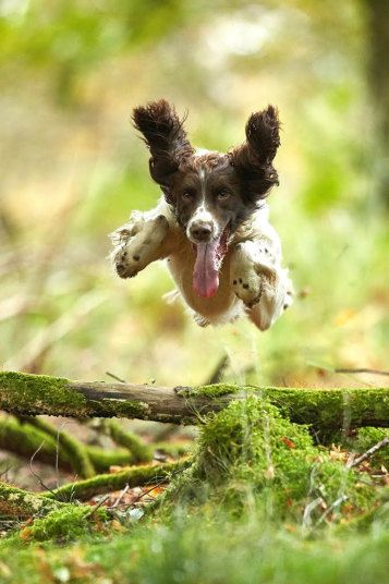 Bailey, springer spaniel, busy at work hunting pheasants. I call this Joy!
