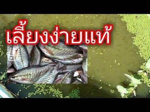 เล ยงปลาสล ด เล ยงแบบบ านๆง ายๆทำเองได Youtube กบ ก ง