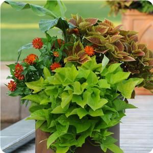 Ball Horticultural Co.  Great website for mixed container ideas.
