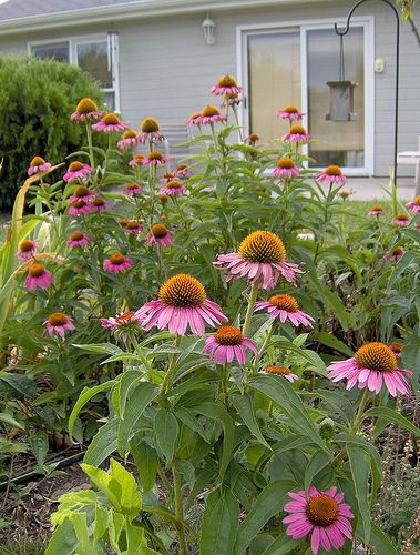 coneflowers by CharNewcomb, via Flickr