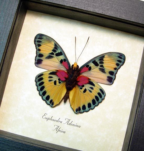 Euphaedra Adonina Verso Golden Themis Forester Real Framed Butterfly 2546 by REALBUTTERFLYGIFTS on Etsy https://www.etsy.com/listing/258473497/euphaedra-adonina-verso-golden-themis