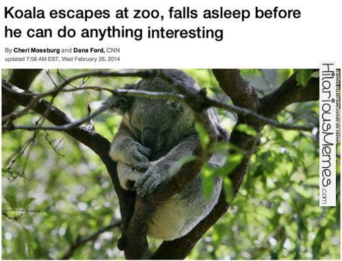 Hilarious Memes Koala Escapes from Zoo...