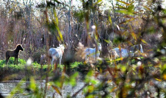 Observando a los Caballos de la Camarga en la #Albufera de #Mallorca  #Mallorcamola #mallorcatestim #mallorcaturismo #estaes_espania #estaes_baleares #estaes_natura #horses #ParcNatural #inlovewithmallorca #naturaleza_baleares #igersBaleares #igersMallorca by mallorcamola