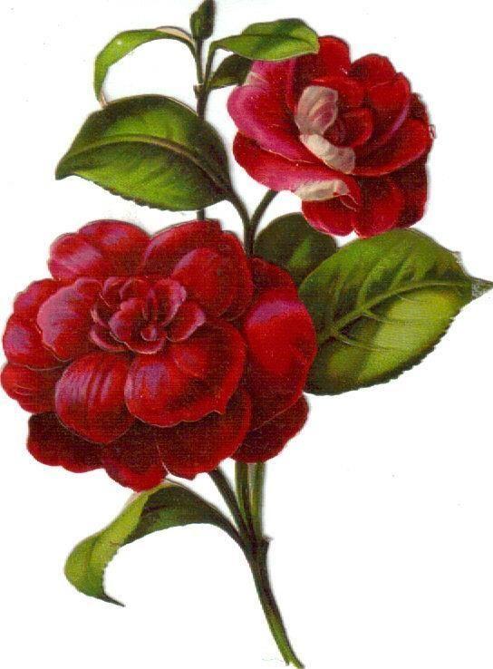 Victorian Scrap Rich Red Camellia Bouquet Die Cut c1880