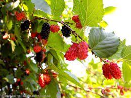 Quintal de casa, frutas que tenho aqui,amora.
