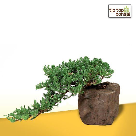 Green Mound Juniper Bonsai Tree in Rock Pot - graceful cascading style, pleasing to the eye.