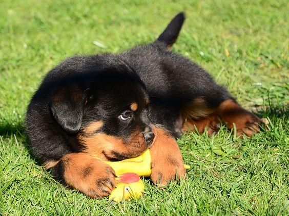 tìm hiểu về chó rottweiler