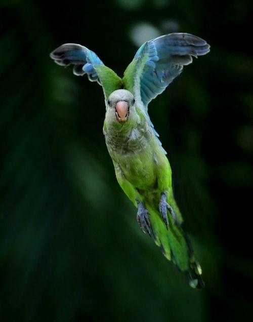Monk Parakeet (Myopsitta monachus):