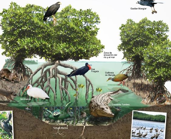 Manglar Que Es Fauna Y Tipos De Manglares Ovacen Science Illustration Science And Nature Ecosystems Projects