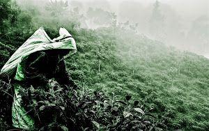 Tea harvest in Sri lanka by Benoit Chancerel - Tea harvest in Sri lanka Click on the image to enlarge.